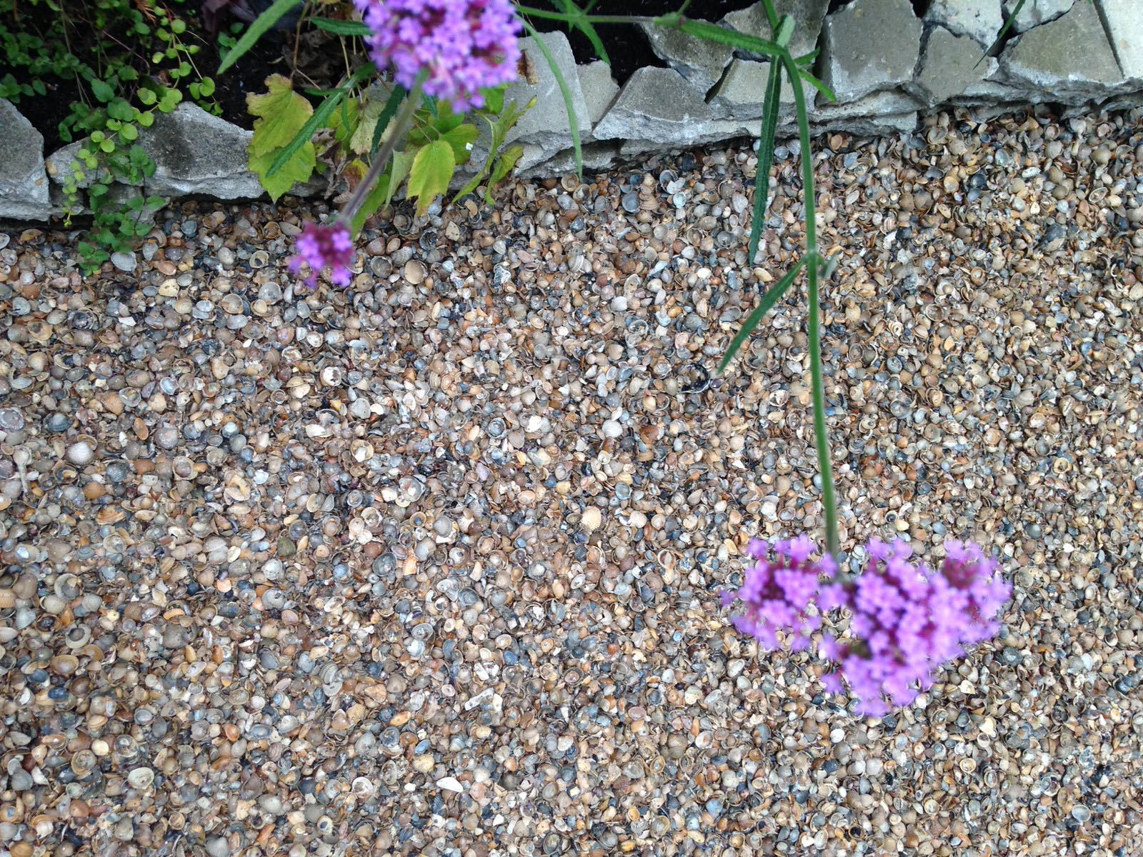 seaside garden in the suburbs - shells in the garden instead of pebbles or stones (7)cr